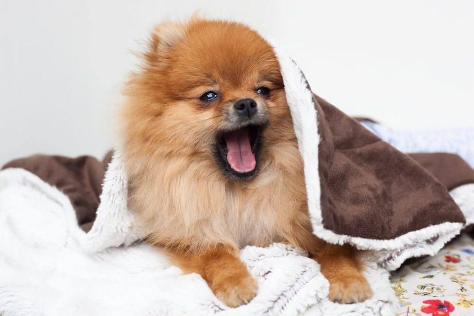 A beautiful pomeranian dog waking up and yawning